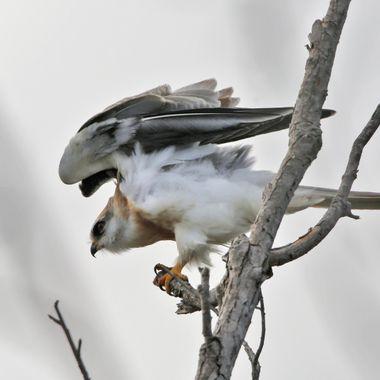 White Tailed Kite IMG_4066