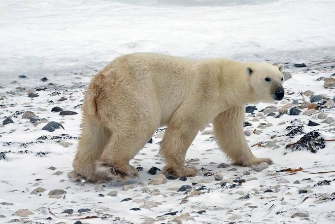 Now that's a bear by mlorenekimura - Winter Wildlife Photo Contest