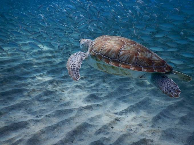 Sea turtle by Globetrotter_Avenue - Covers Photo Contest Vol 42