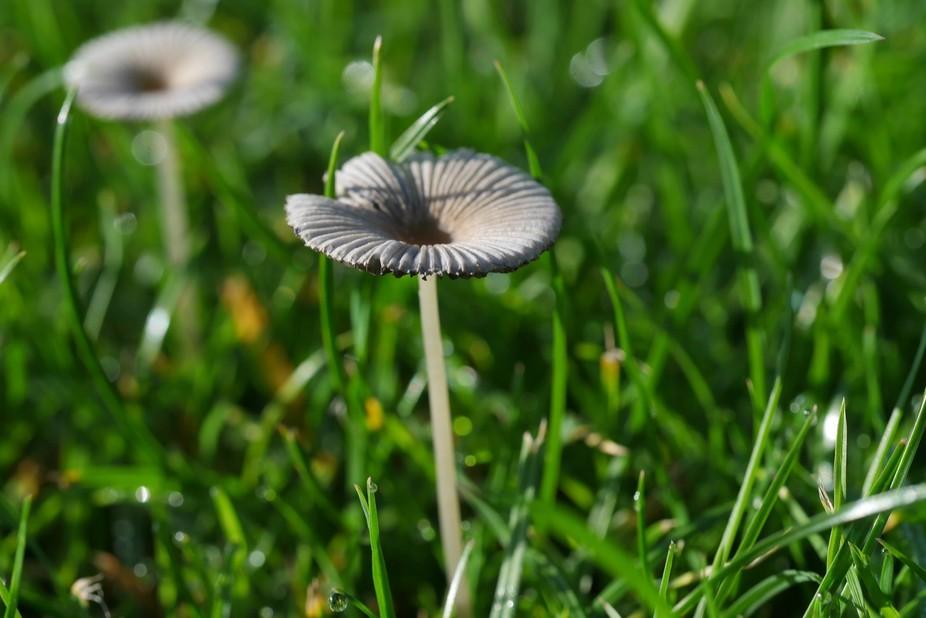 Mushrooms that grow in my garden, Macro style
