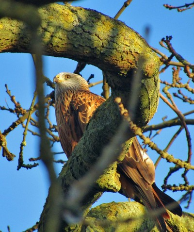 Glimpse of a Red Kite