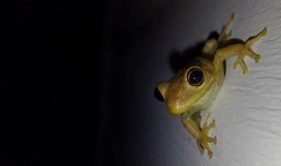 Nightly baby tree frog