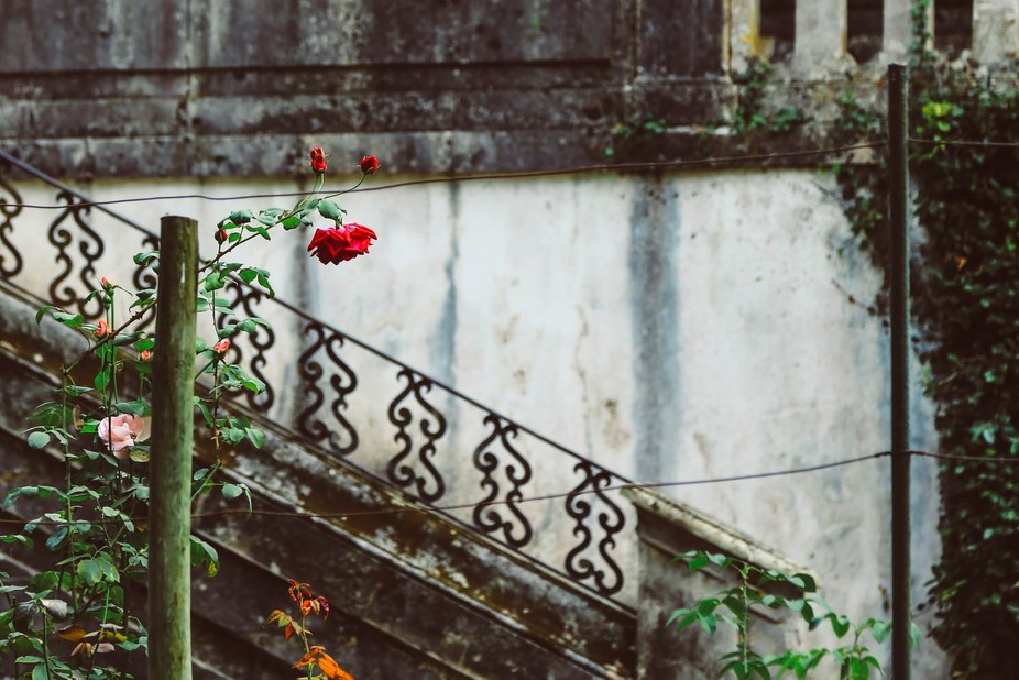 Rose in Botanic Garden, Coimbra, Portugal
