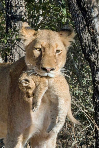 I have you baby. Lioness carrying her cub in Sabi Sands South Africa.