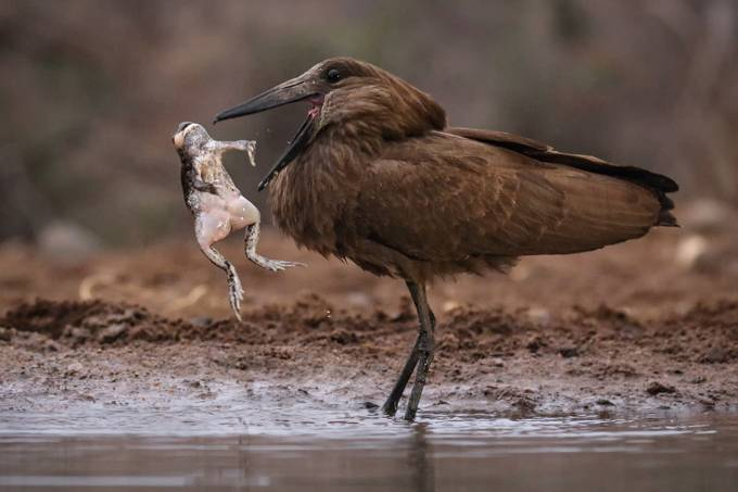 Hamerkop with frog 2 by AlanJ - Food Chain Struggles Photo Contest