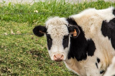 White Faced Cow