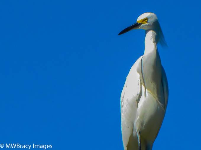 This great Egret was perched in the top of a tree.