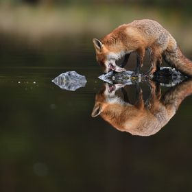 The young red fox quickly eats the fish (animal in human care)