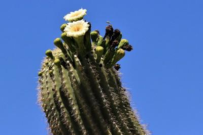 IMG_6543, Saquaro Cactus in Bloom, Sabino Canyon Arizona, May 2014
