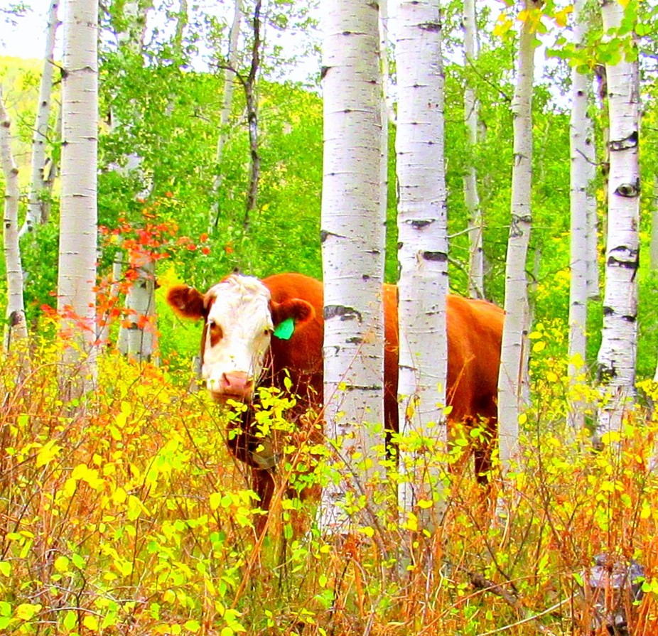 This cow up on the Grand Mesa, Colorado thinks she can't be seen behind the trees. But h...