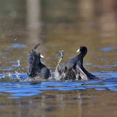 American Coot fight IMG_3822