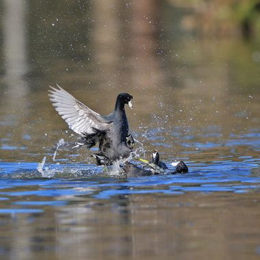American Coot fight IMG_3825