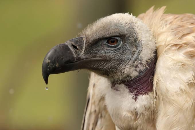 Cape Vulture by DanieTerblanche - Covers Photo Contest Vol 42