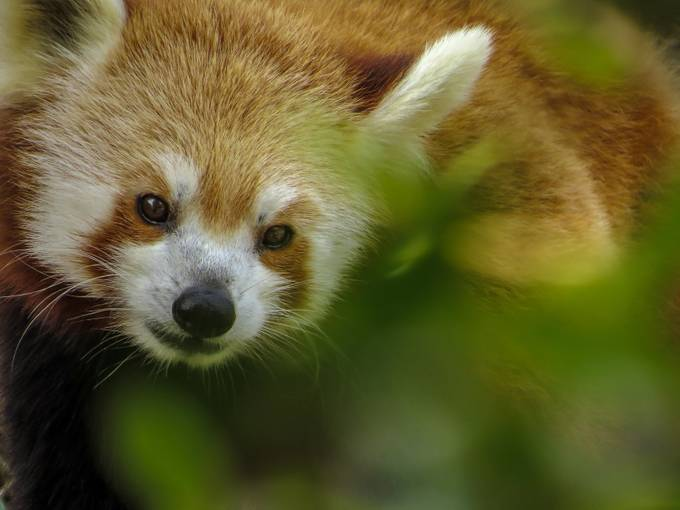 Red Panda by RobynC - Covers Photo Contest Vol 42