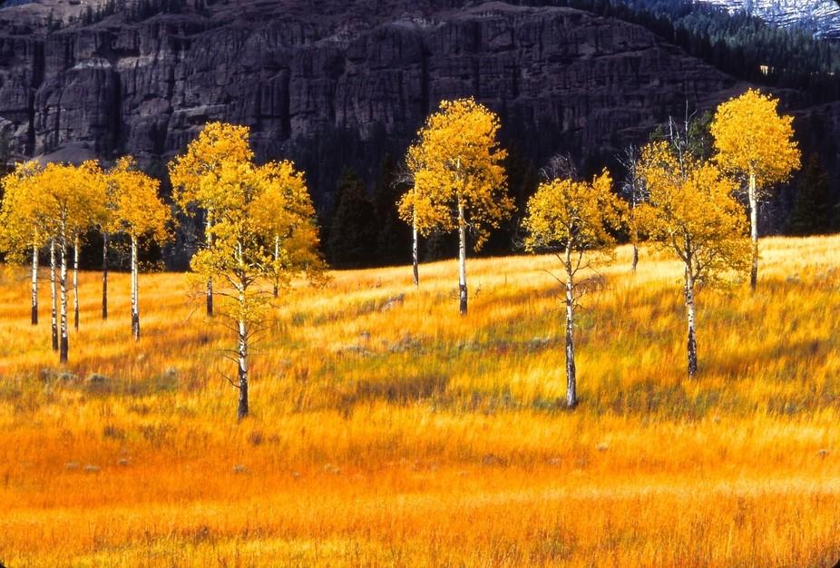 Aspens, Autumn Meadow, Lamar Valley - Version 5