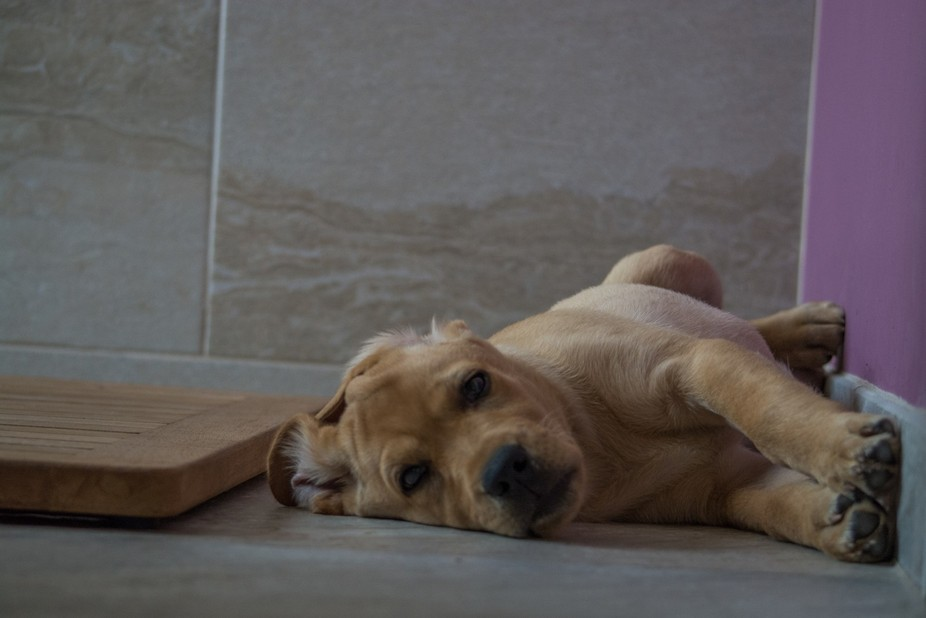 Our yellow lab puppy Ginger relaxing in the bathroom.