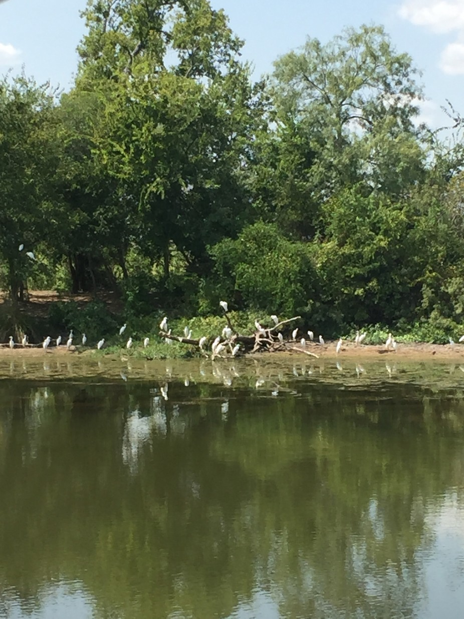 Egrets in the evening just days prior to their migration South.