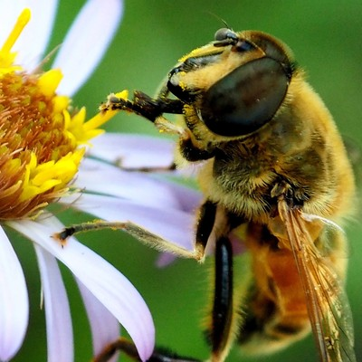 Daisy Bee 2.0