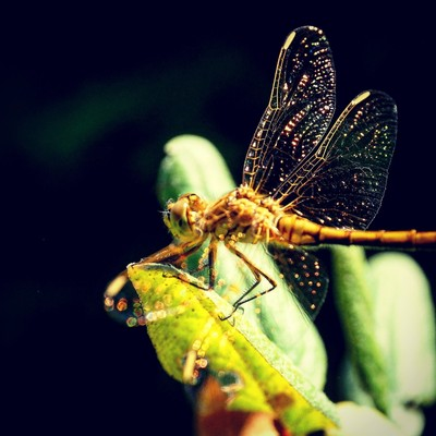 Gold Dragonfly in Golden.