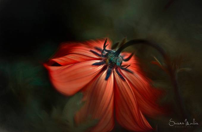 Lady in Red by ca_sem - Beautiful Flowers Photo Contest
