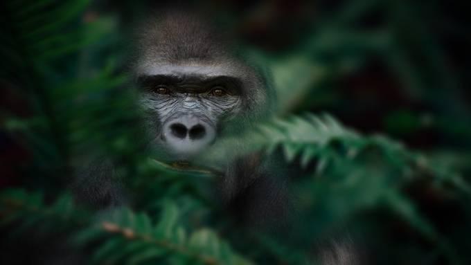 Gorilla by uwegibkes - Covers Photo Contest Vol 42