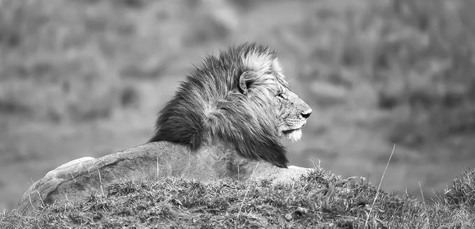 Lion by pattebrownell - Image Of The Month Photo Contest Vol 28