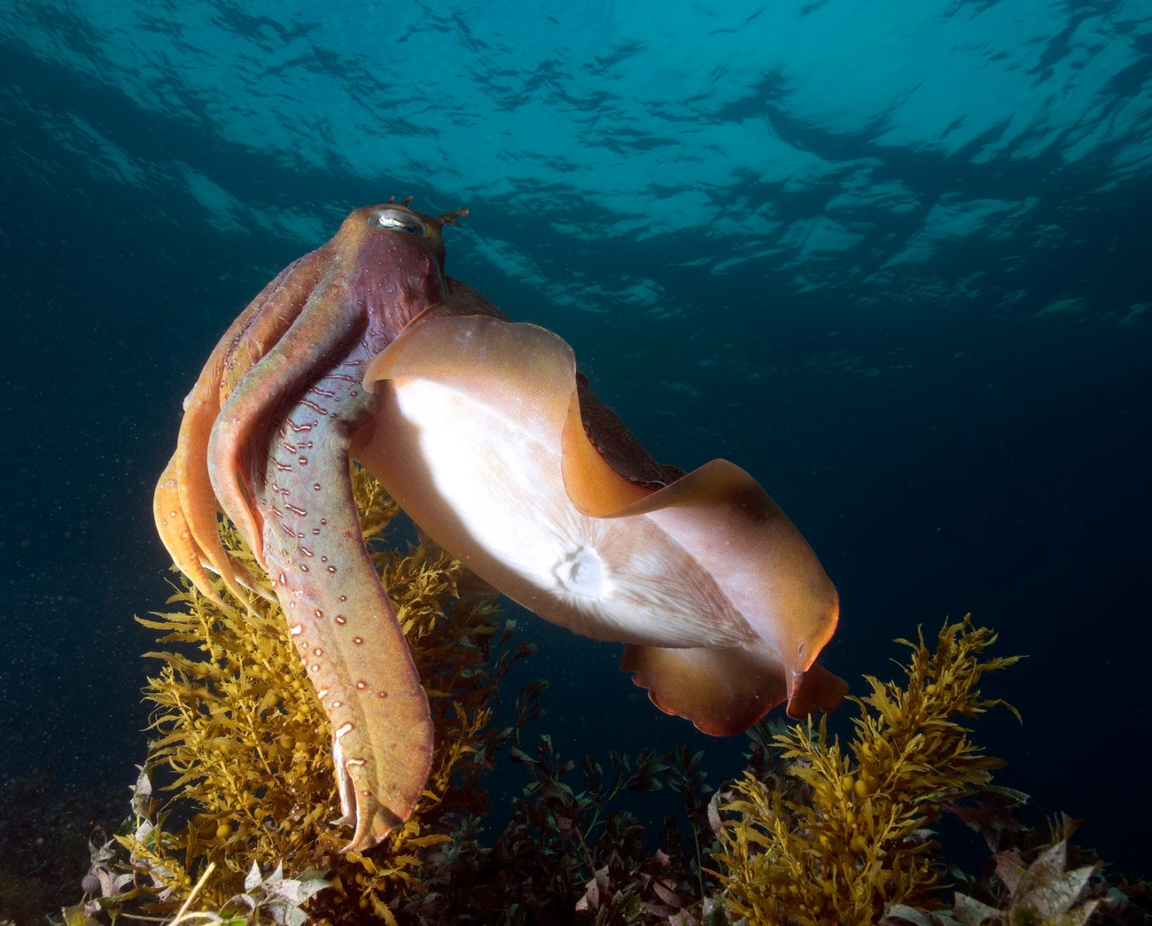 this friendly cuttlefish was happy to pose for the camera and wasn't too shy which was a bit of a surprise considering he has a bit missing from underneath him. I tried to get underneath and shot upwards with the strobes light him from below to help with the colour