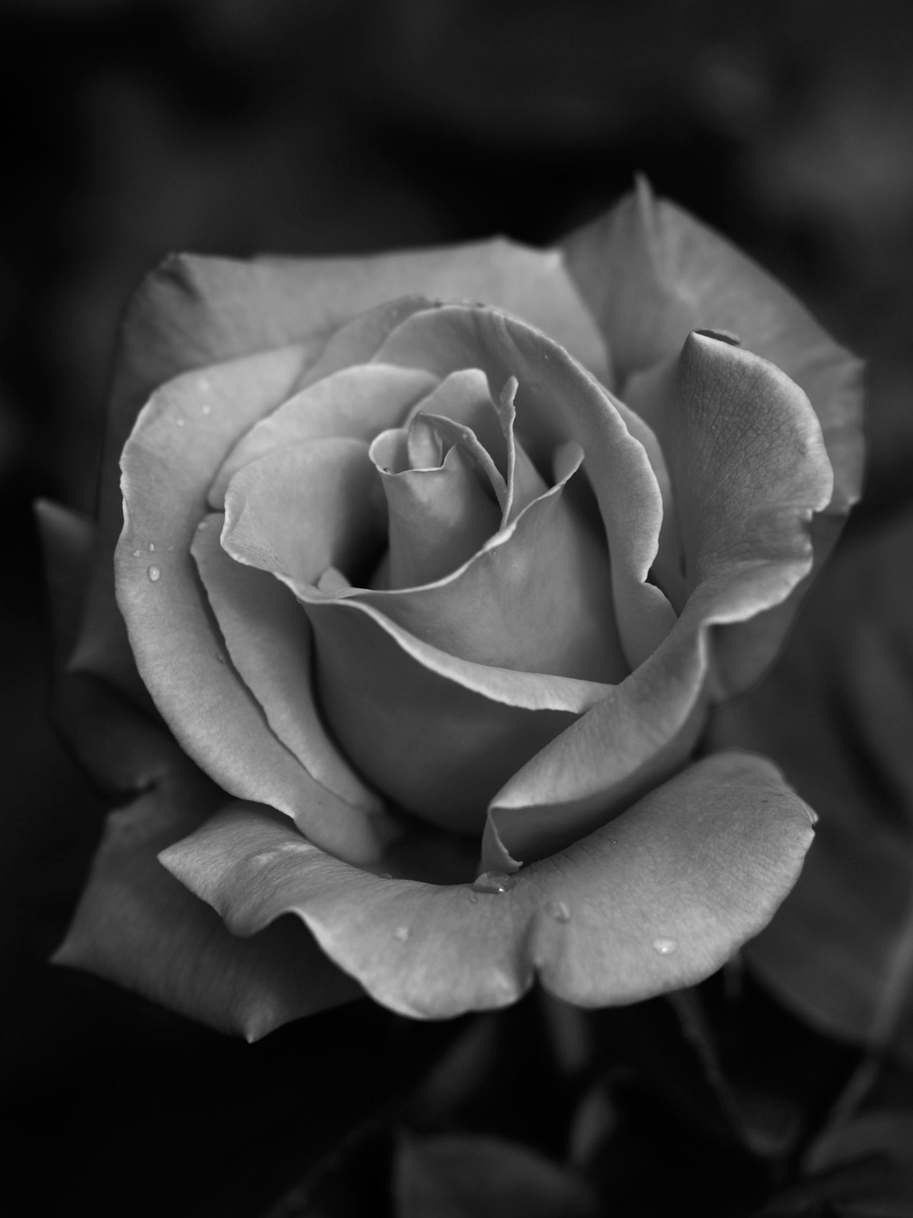 another one of my rose photos in black and white, this was a single coloured rose originally but it has nice highlights on the edges of the petals that give great definition to the rose shape