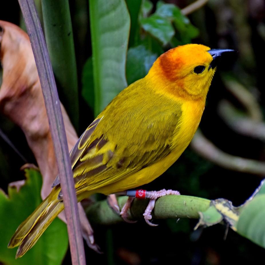 Taveta Golden Weaver Bird. Tanzania Africa