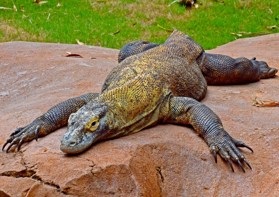 Komodo Dragon at Animal Kingdom