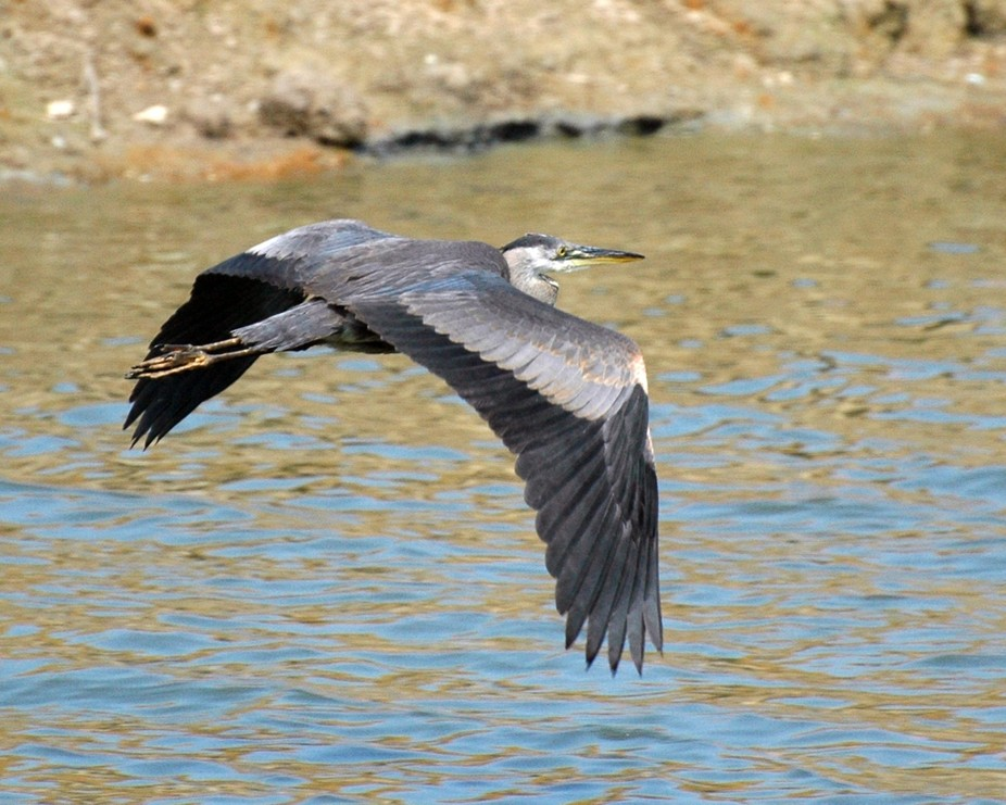While taking a walk by the neighborhood lake, I saw a blue heron in the water.  I waited to see i...