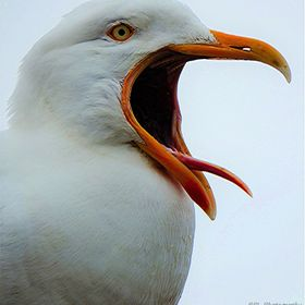 Herring Gulls Always Have Something To Shout About