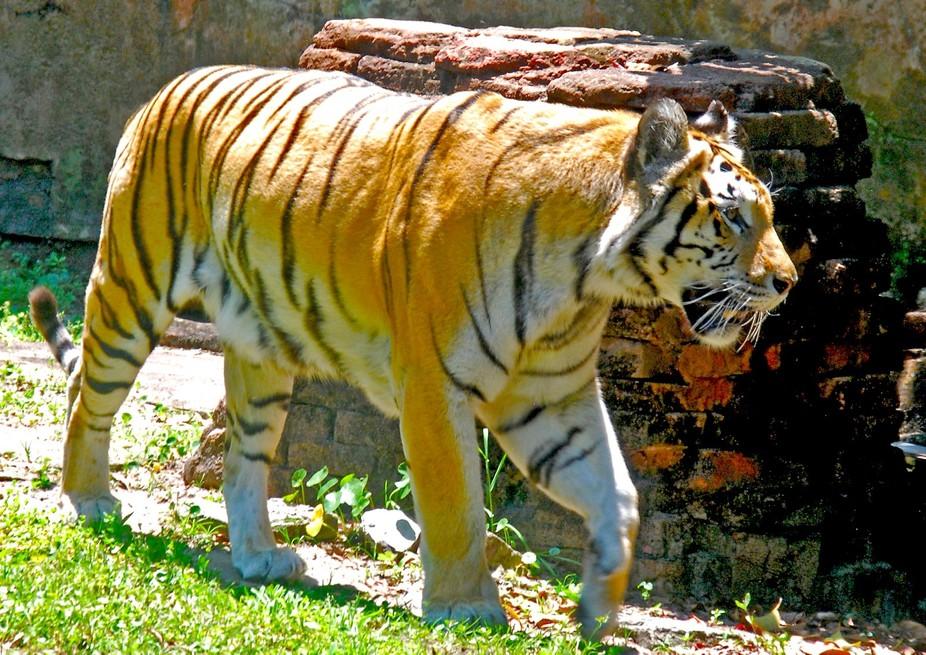 AK Tiger DSC_0581
