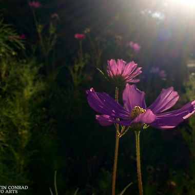 Flowers backlit with lens flare