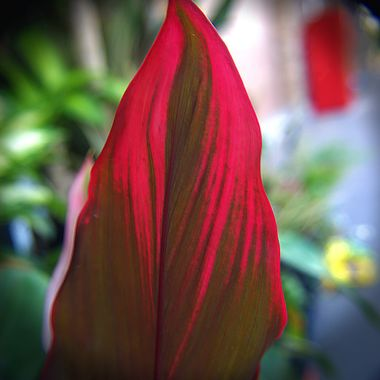 Brilliant crimson flower petal