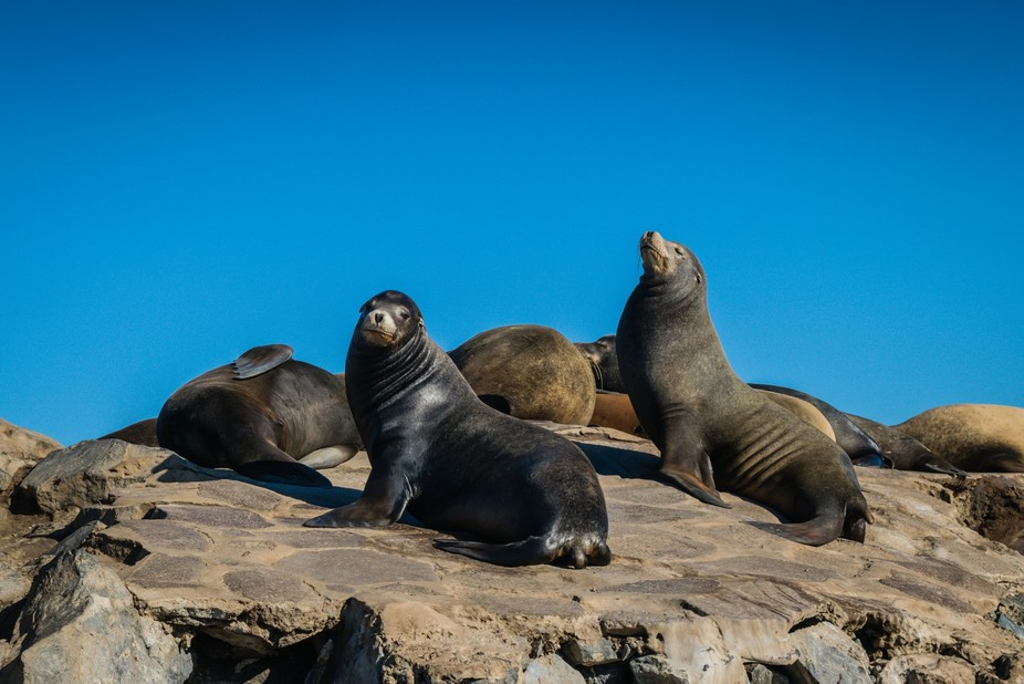A couple of shots of sea lions basking in the sun in Ensenada. This was actually the first shot w...