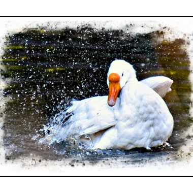 Goose splashing water.