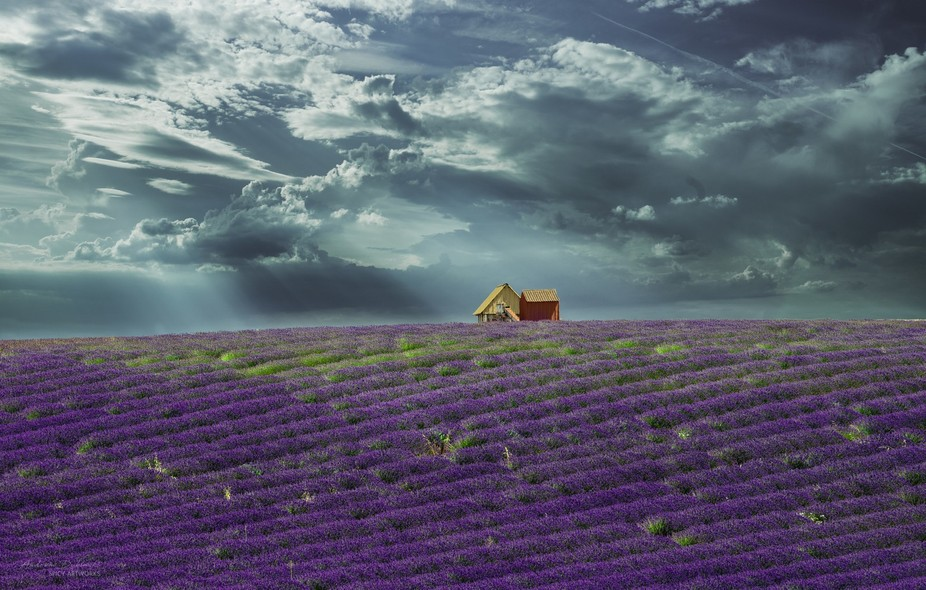 The fragrance of lavender