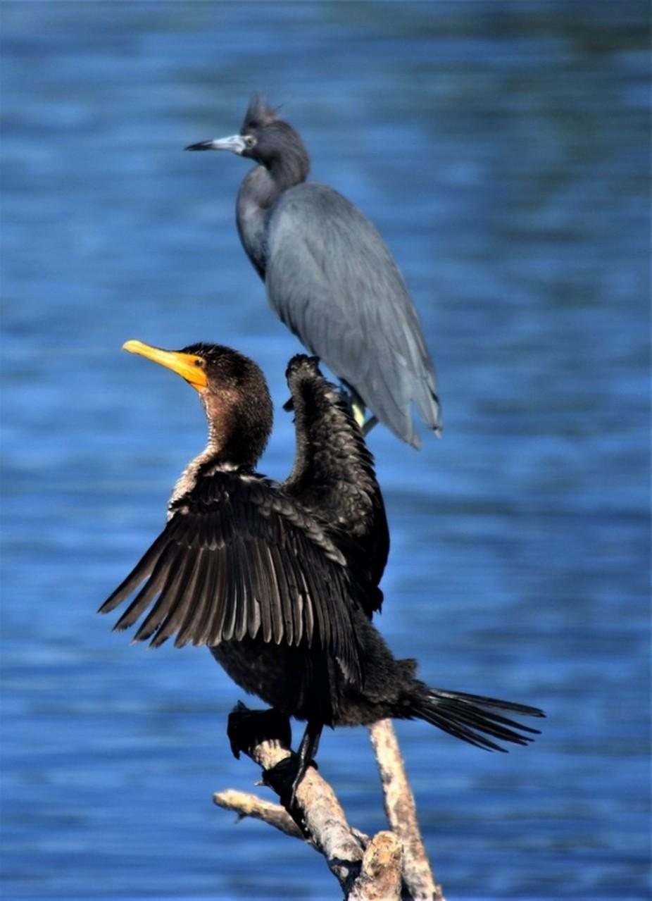 Anghinga with Heron