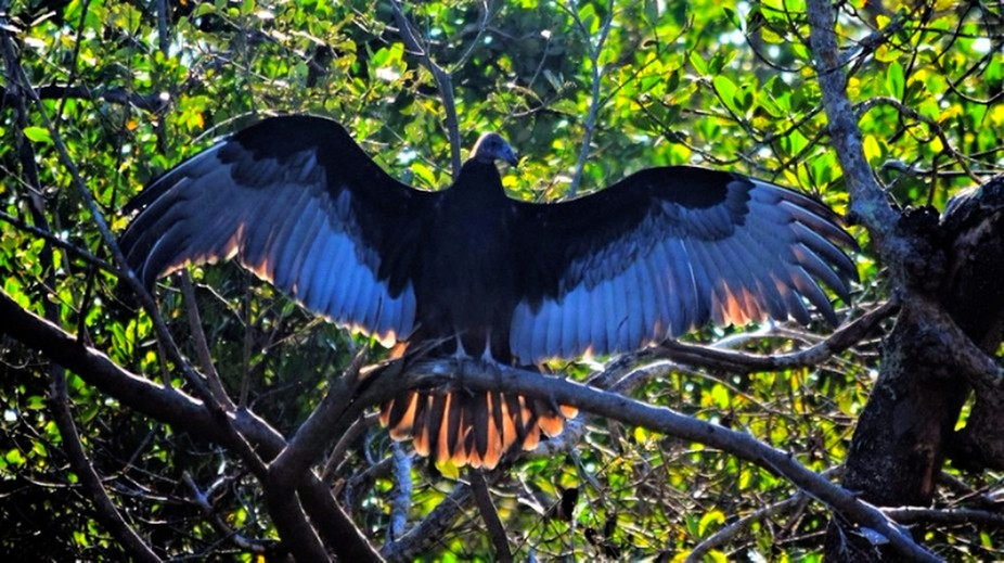 Vulture with outspread wings