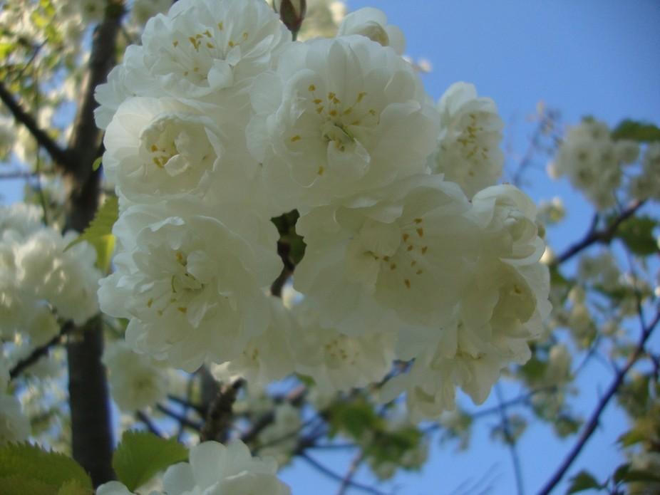 White Summer Flower Blushing