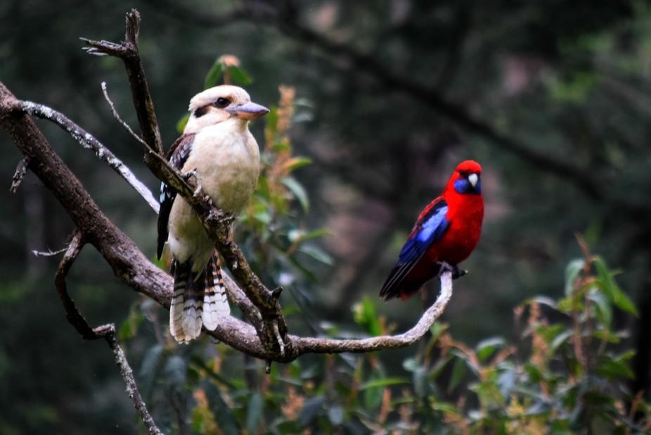 kookaburra and Rosella