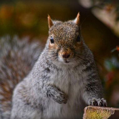 image jpg. 00156/edit. Grey squirrel