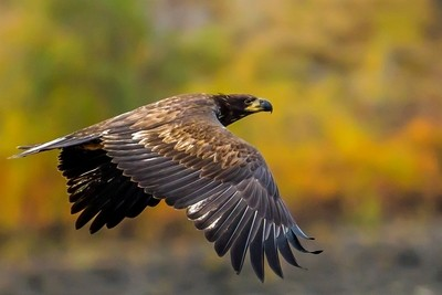juvenile eagle on the fly