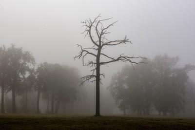 Dead tree on a foggy morning