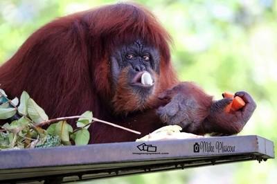 orangutang from east malaysia