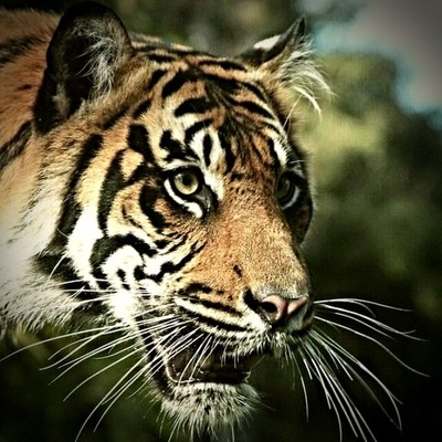 Tigers whiskers