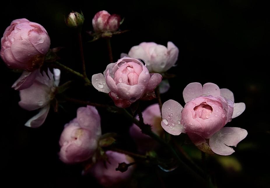 Roses in the dark