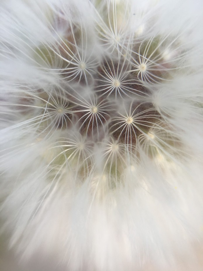 Testing out my macro lens on a dandelion (iphone 6)