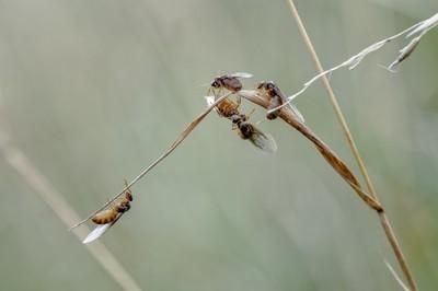 Small Black Ant_Queens (Lasius niger)